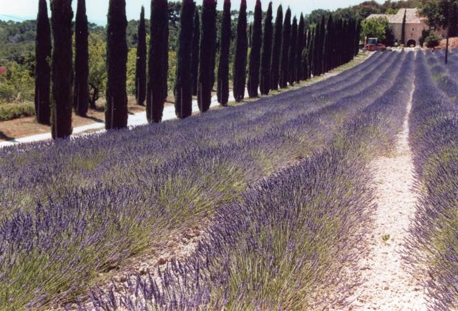 lavender-1551535